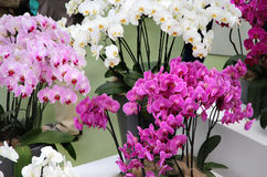Beautiful orchids in the vases Royalty Free Stock Photos