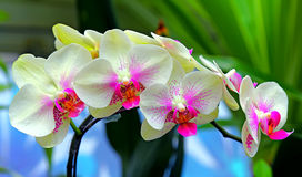 Beautiful orchids. Vibrant and beautiful orchids with natural background Stock Photos