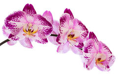 Beautiful orchids. On white background Stock Images