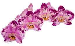 Beautiful orchids. On white background Stock Photos