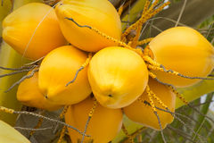 Beautiful and organic yellow coconuts. King coconut Cocos nucifera is a variety of coconut Royalty Free Stock Photo