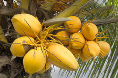 Beautiful and organic yellow coconuts. King coconut Cocos nucifera is a variety of coconut Stock Image