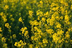 Beautiful Organic Yellow Mustard Flowers in field, Royalty Free Stock Photography