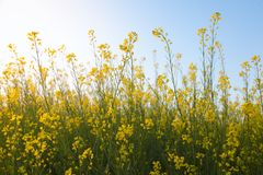 Beautiful Organic Yellow Mustard Flowers in field, Royalty Free Stock Photos