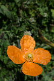 Beautiful Oriental poppy flowers in nature Stock Image