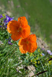 Beautiful Oriental poppy flowers in nature Stock Photography