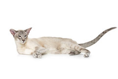 Beautiful oriental siam cat. Isolated on white background. Copy space royalty free stock photo