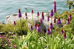 Free Beautiful Original Lilac Flowers Of Primula By The Lake. Stock Photo - 112694370