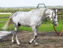 Beautiful Orlov stallion breed (Orlov Trotter). Stock Photo