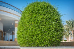 Beautiful ornamental bush on the hotel Royalty Free Stock Photo