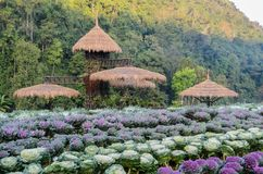 Beautiful ornamental cabbage garden scene Royalty Free Stock Image