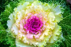 Beautiful ornamental cabbage in the landscape design. Rural garden plot. Large plush colorful leaves of purple, yellow and green Stock Photos