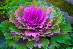 Beautiful ornamental cabbage in the landscape design. Rural garden plot. Large plush colorful leaves of purple, yellow and green Stock Photography