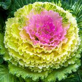 Beautiful ornamental cabbage in the landscape design. Rural garden plot. Large plush colorful leaves of purple, yellow and green Stock Image