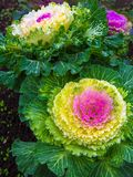 Beautiful ornamental cabbage in the landscape design. Rural garden plot. Large plush colorful leaves of purple, yellow and green Royalty Free Stock Photography