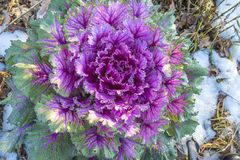 Winter flower. Beautiful ornamental cabbage on a snow Stock Images