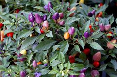 Colorful Chili with small purple and red for ornamental gardens. royalty free stock photo