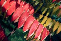 Beautiful ornamental deciduous plant in the fall called sumac. Rhus glabra est pulchra emblemata hortum herba cuius folia verto rubro aut flavo in autumno royalty free stock images