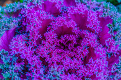 Beautiful ornamental decorative cabbage covered with a morning f Stock Image