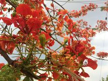Beautiful ornamental flowers named flame tree. Red flowers blooming in spring season royalty free stock image