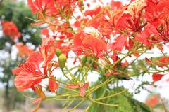 Beautiful ornamental flowers named flame tree. Red flowers blooming in spring season royalty free stock images