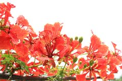 Beautiful ornamental flowers named flame tree. Red flowers blooming in spring season stock photography