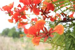 Beautiful ornamental flowers named flame tree. Red flowers blooming in spring season royalty free stock photos