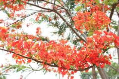 Beautiful ornamental flowers named flame tree. Red flowers blooming in spring season stock image