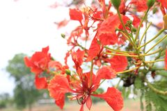 Beautiful ornamental flowers named flame tree. Red flowers blooming in spring season stock images