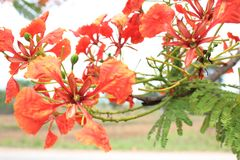 Beautiful ornamental flowers named flame tree. Red flowers blooming in spring season royalty free stock photo