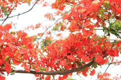 Beautiful ornamental flowers named flame tree. Red flowers blooming in spring season royalty free stock photography