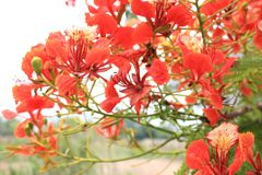 Beautiful ornamental flowers named flame tree. Red flowers blooming in spring season stock photos