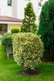 Beautiful ornamental plant Stock Image