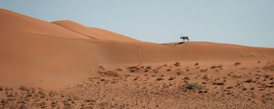 A beautiful oryx navigates the sand dunes, casting a long shadow over the orange sand stock photos