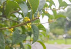 A Beautiful Osmanthus Tree royalty free stock images