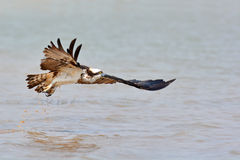 Beautiful Osprey bird Royalty Free Stock Images