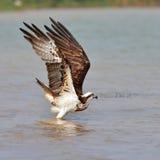Beautiful Osprey bird Royalty Free Stock Photo