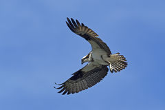 Beautiful osprey in the sky. Royalty Free Stock Photo