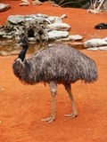 Beautiful ostrich. Beautiful ostric in Zagreb zoo Stock Photography