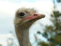 Beautiful ostrich with big eyes stock image