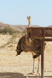Beautiful ostrich in the desert Royalty Free Stock Image