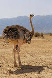 Beautiful ostrich in the desert Royalty Free Stock Photography