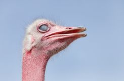 Beautiful Ostrich with inner eyelid closed Royalty Free Stock Photo