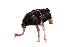 Beautiful ostrich isolated Royalty Free Stock Photo