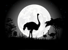 Beautiful Ostrich silhouettes with giant moon background Stock Photos