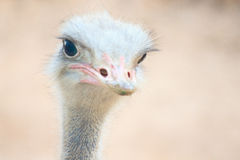 Beautiful ostrich Royalty Free Stock Photography