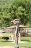 Beautiful ostrich in the zoo Royalty Free Stock Images