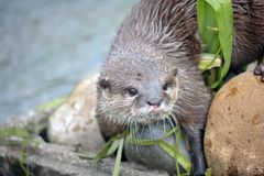 Beautiful Otter Stock Images