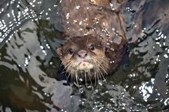 Beautiful Otter Stock Photos
