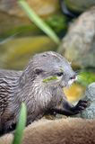 Beautiful Otter Royalty Free Stock Image
